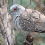 Diamond Dove new photos