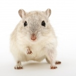 Gerbil new photos