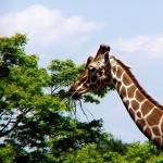 Giraffe high definition photo
