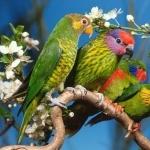 Lovebird free