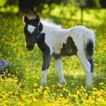 Miniature Horse hd