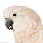 Moluccan Cockatoo funny