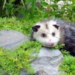 Opossum widescreen