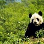 Pandas hd