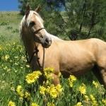 Quarter Horse breed