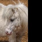 Shetland Pony hd desktop