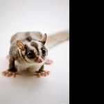 Sugar Glider new wallpaper