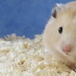 Teddy Bear Hamster pics