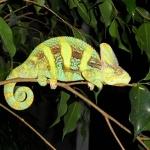 Veiled Chameleon wallpaper
