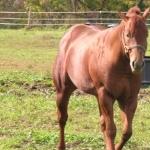 American Quarter Horse download