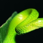 Ball Python wallpapers for desktop