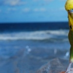 Budgerigar desktop wallpaper