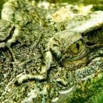 Crocodile hd photos