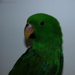 Eclectus Parrot background