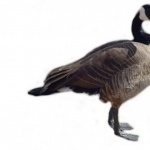 Goose free download