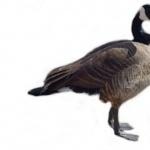 Goose free download
