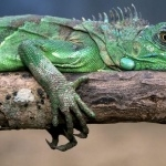 Green Iguana wallpapers for desktop