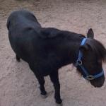 Miniature Horse pic