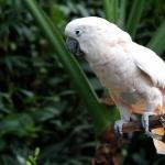 Moluccan Cockatoo new photos
