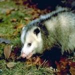Opossum background