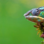 Panther Chameleon hd wallpaper