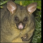 Possum photos