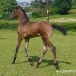 Quarter Horse X Appaloosa images