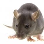 Rat high definition photo