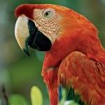 Scarlett Macaw hd wallpaper