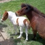 Shetland Pony breed